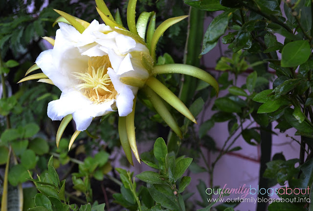 dragon fruit, gardening, home, home and living, how to grow dragon fruit in pots, tips on growing dragon fruit, pitaya, dragon fruit flower