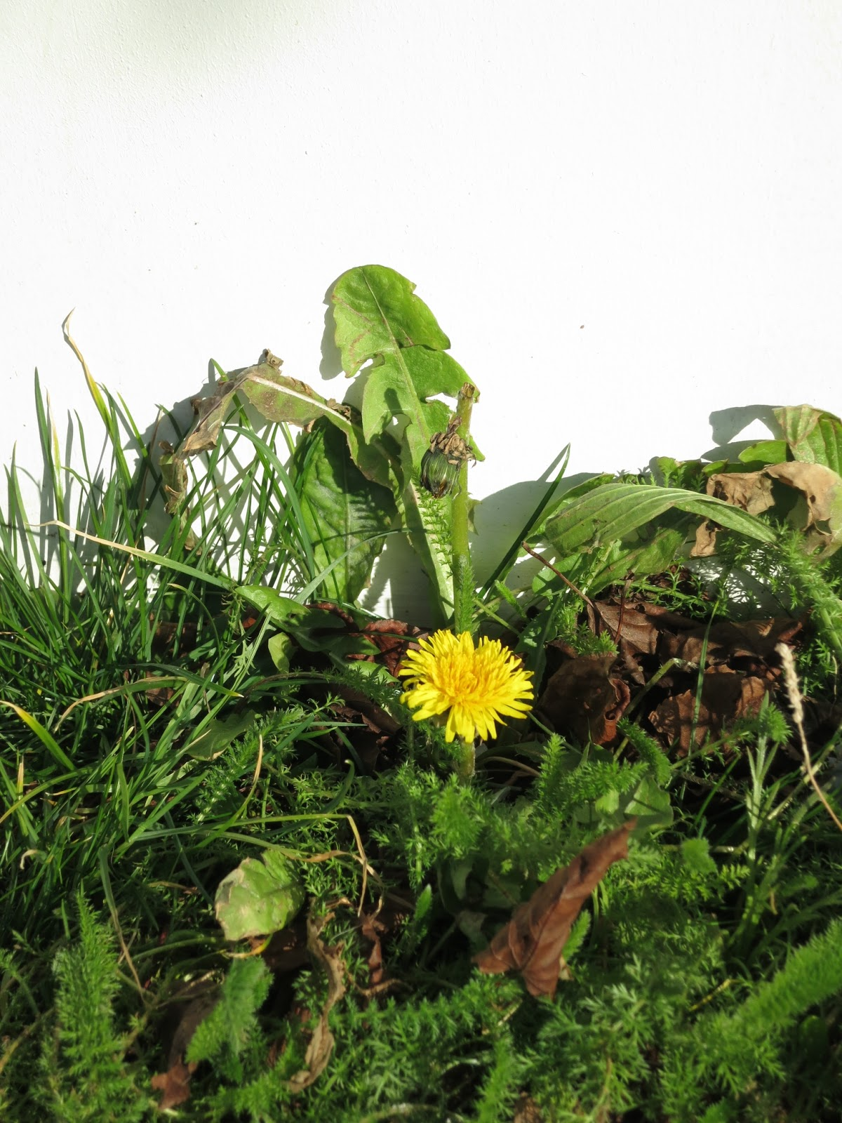 Dandelion, grass and other plants along the hoarding.