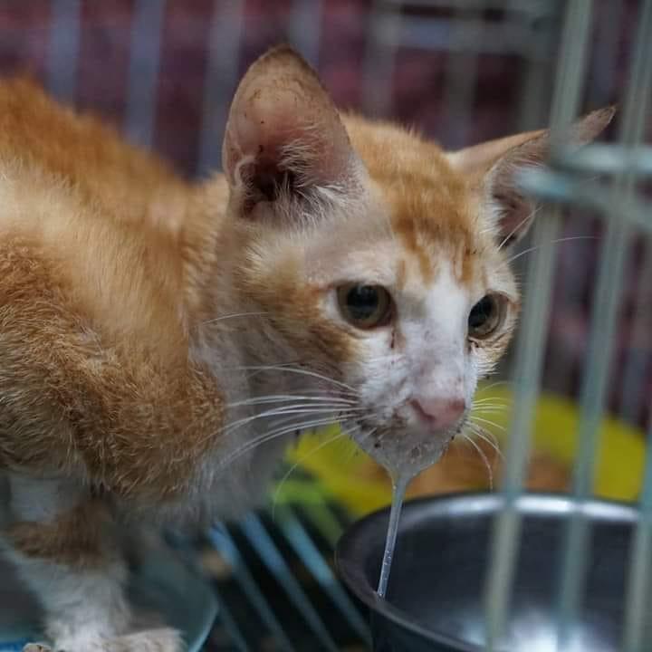 Panleukopenia Virus, Distemper Kucing (FPV) Adalah Penyakit yang ...