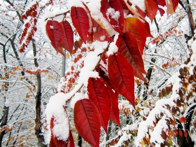 雪を冠った桜の紅葉