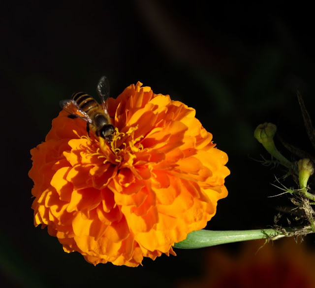 Bee and Flower Marigold