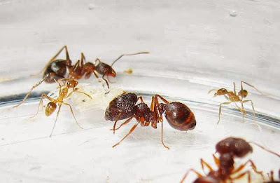 The median, minor and major workers of this rare Pheidole species