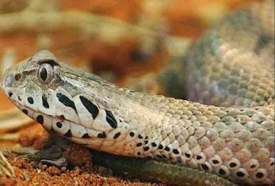 डेथ एडर (Death Adder) 5th Most Poisonous Snake in world