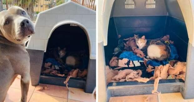 Питбуль поселил в своей конуре бродячую кошку, чтобы та спокойно родила котят: джентльмен!