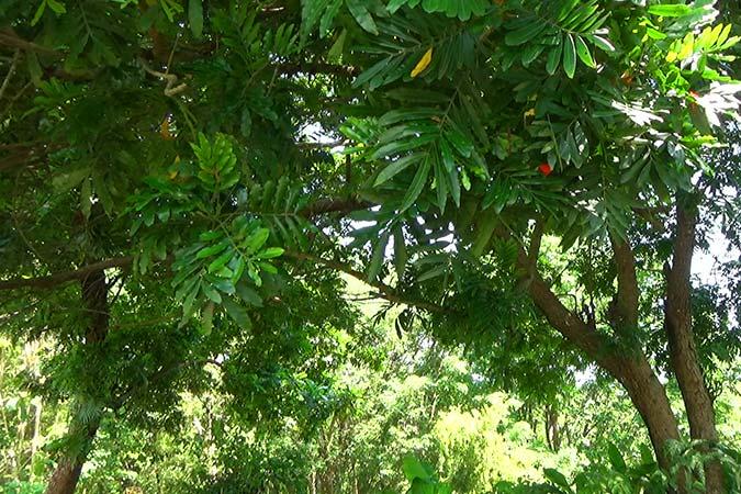 Dlium Fern tree (Filicium decipiens)
