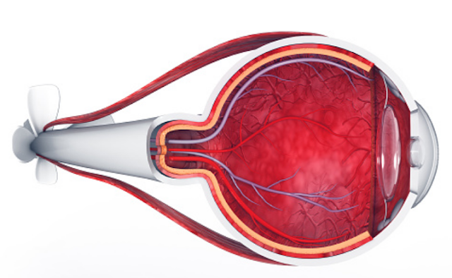 Indera Penglihatan : Bagian-Bagian Indera Penglihatan, Cara Kerja Indera Penglihatan Organ mata adalah indera untuk melihat objek. Berkas-berkas cahaya luar akan diterima oleh retina yang kemudian informasi itu diteruskan oleh serabut-serabut saraf penglihatan lalu diterjemahkan oleh otak dan persepsikan oleh indera, maka suatu objek dapat terlihat secara visual.  Bagian-Bagian Indera Penglihatan Mata kita memiliki tiga lapisan jaringan yang berlainan, yakni lapisan luar, lapisan tengah, dan lapisan dalam mata. Lapisan Luar Lapisan luar disebut juga dengan lapisan sklera yakni yang berwarna putih kompak. Terdapat pula kornea mata yang bening dan transparan yang berfungsi sebagai organ penangkap cahaya yang masuk ke bagian dalam mata untuk kemudian membelokkan berkas cahaya sedemikian rupa sehingga dapat diterima lensa mata. Bagian luar terdiri atas beberapa bagian yang diantaranya adalah : Alis Mata Berfungsi untuk mencegah kotoran yang berasal dari atas mata supaya tidak masuk ke dalam mata, termasuk juga keringat. Kelopak Mata Kelopak mata memiliki gerak reflek untuk melindungi mata. Adapun fungsi kelopak mata adalah melindungi bola mata dari luar, terutama dari benda asing yang akan masuk ke mata. Bagian dalam kelopak berfungsi membersihkan mata. Bulu Mata Berfungsi mencegah kotoran supaya tidak masuk ke mata. Selain itu, juga supaya dapat mengurangi intensitas cahaya sehingga tidak terlalu menyilaukan. Bagian ini juga mempunyai kelenjar meibow yang berfungsi untuk menghasilkan lemak yang dapat mencegah kedua kelopak mata atas dan bawah menempel. Kelenjar Air Mata Berfungsi untuk menghasilkan air mata. Fungsi air mata adalah untuk air membasahi kornea, melindungi mata dari kuman, dan menjaga kelembaban mata supaya tetap sehat dan tidak kering.  Lapisan Tengah Lapisan tengah disebut juga sebagai lapisan koroid yakni yang berwarna hitam. Pada lapisan ini banyak mengandung pembuluh darah dan berfungsi sebagai penyuplai makanan dan oksigen bagi mata. Fungsi lain lapi