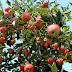 Apple Farm Workers Needed In Canada