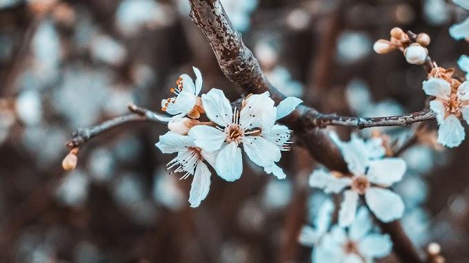 Primavera Floração Flores Brancas