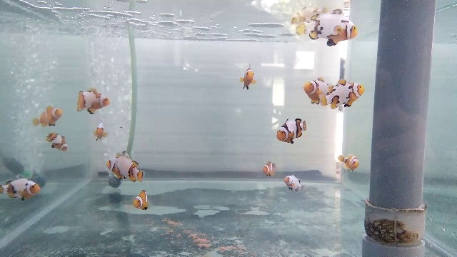 Budidaya Ikan Nemo