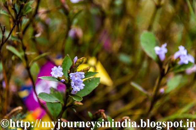Kurinji Flower at Cap Valley Kodaikanal