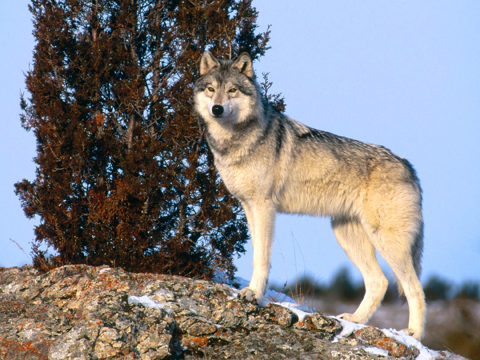 An introduction to wolves and their habitat