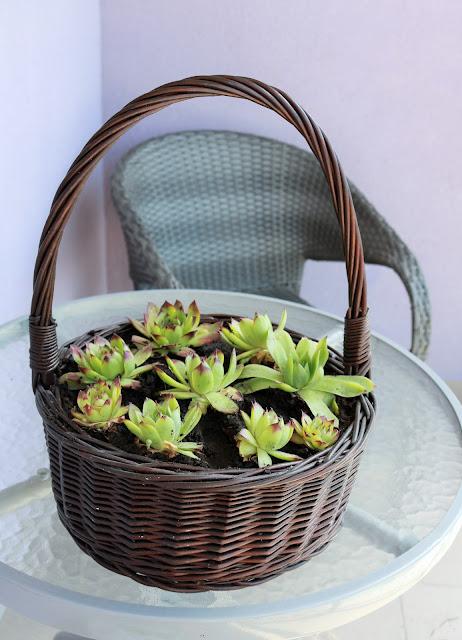 rośliny na słoneczny zachodni balkon