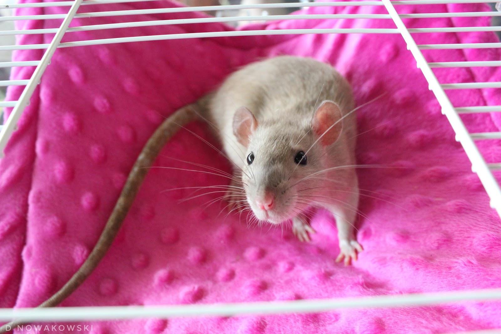 XXI Ogólnopolska Wystawa Szczurów Rodowodowych