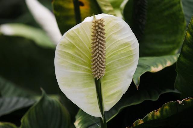 Skrzydłokwiat co zrobic gdy więdnie?