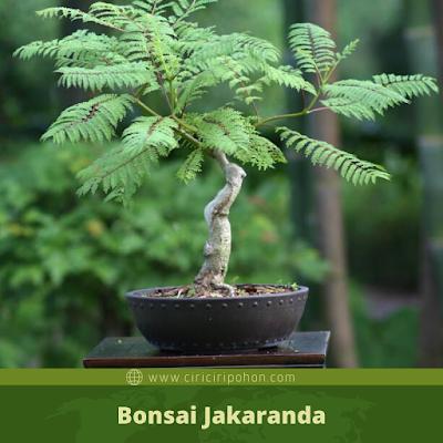 Bonsai Jakaranda