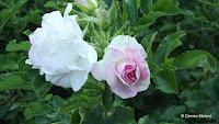 Polar Ice rugosa hybrid rose, Pardee Rose Garden - East Rock Park, New Haven, CT