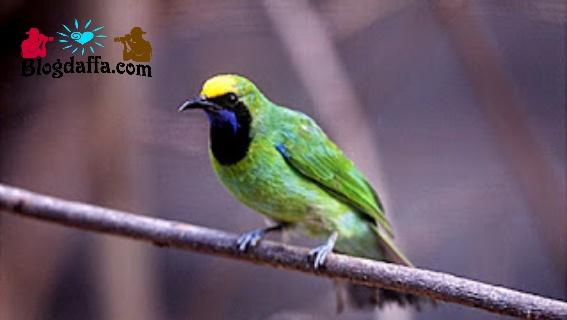 Ciri-ciri burung cucak ijo Sumatera