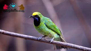 Burung cucak ijo Sumatera terancam punah