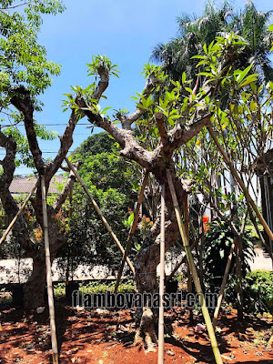Tukang Taman Surabaya Jual Pohon Kamboja Fosil Besar