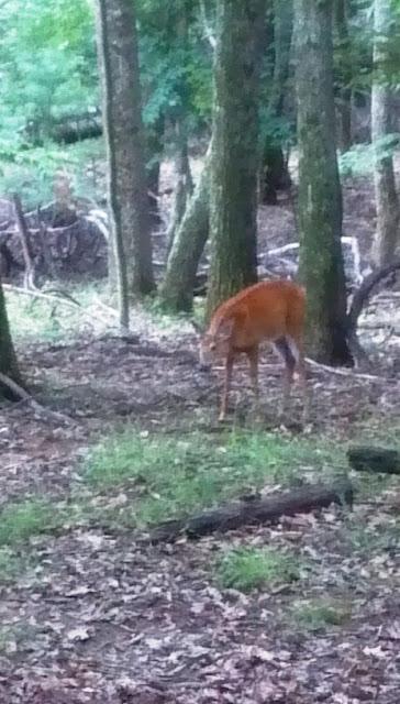 Deer at Pipestem Resort