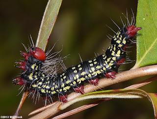 azalea caterpillar ulat tercantik di dunia