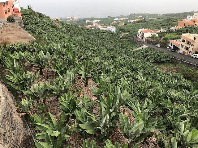 Bananenplantage auf La Palma