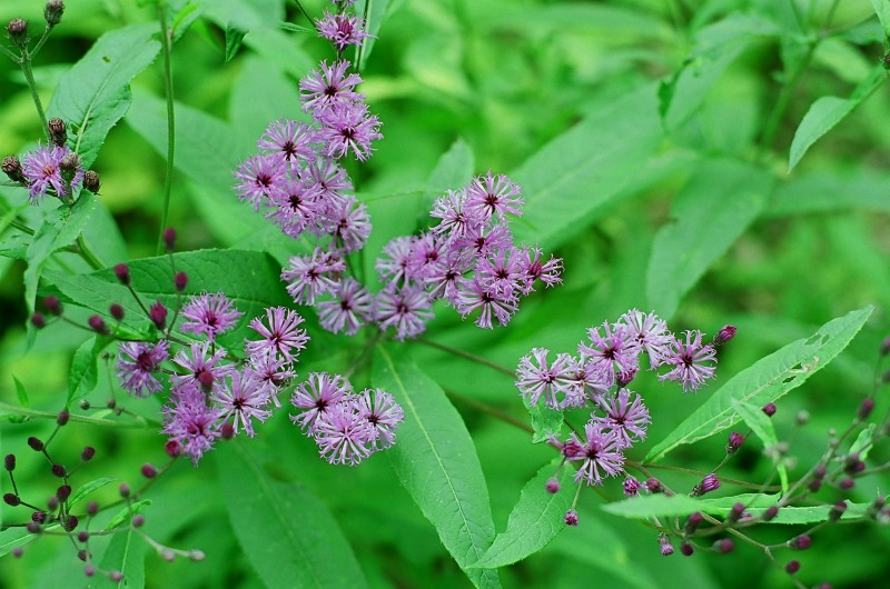Vernonia novaboracensis
