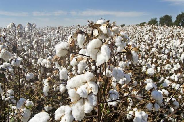 Cotton-market-update