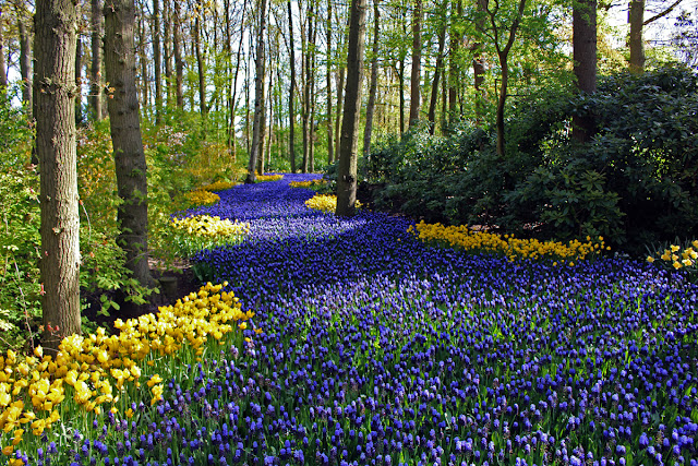 The Butterfly Balcony - Wendy's Week Liverpool to Amsterdam - Stunning display of  a river of Muscari bulbs edged with blousy Daffodils