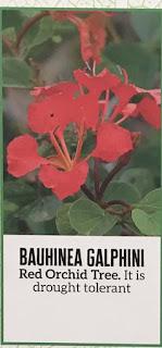 Bauhinea Galphini