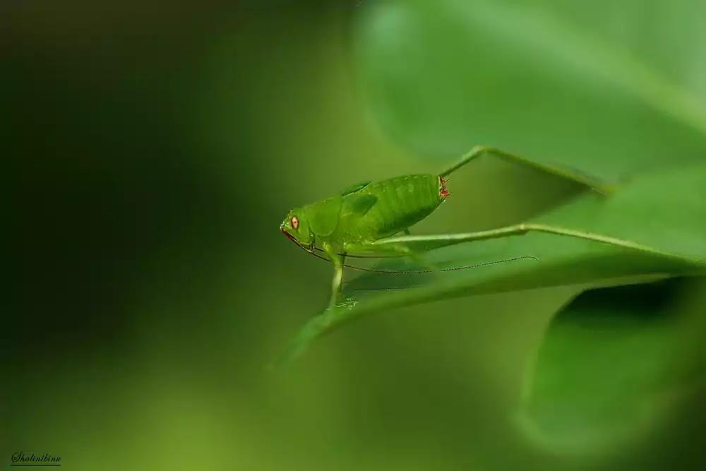 Long legged bush cricket