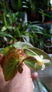 Begonia thelmae terrario