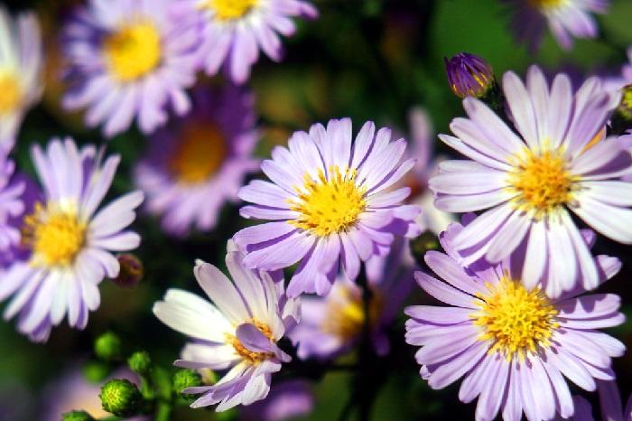 Gambar  Bunga aster tataricus