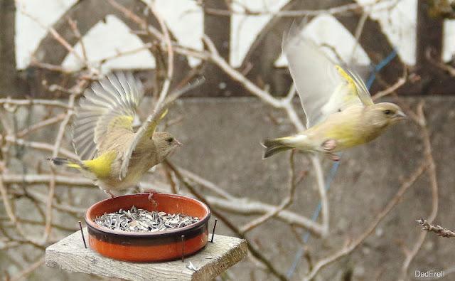 Deux verdiers en lutte pour des graines