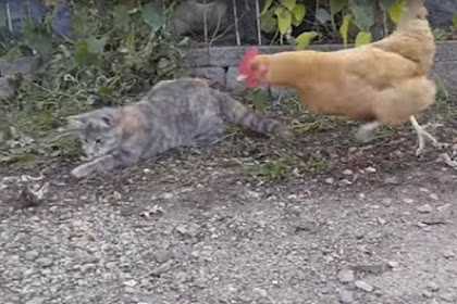 Kucing Dibuat Tercengang Usai Tikus Buruannya Dimakan Ayam