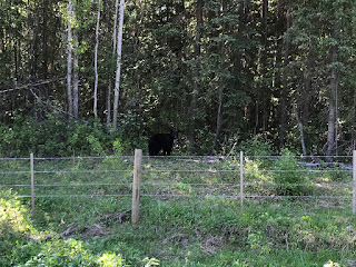 First Bear We Found on the BC-26 East