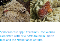 https://sciencythoughts.blogspot.com/2020/06/spirobranchus-spp-christmas-tree-worms.html