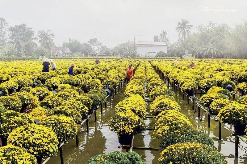 Hình ảnh người dân đang chăm sóc hoa cúc mâm xôi tại Làng Hoa Sa Đéc