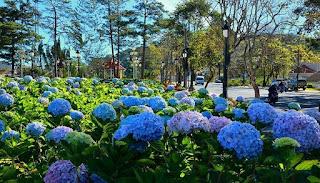 Tất cả về hoa Cẩm Tú Cầu, cánh đồng hoa