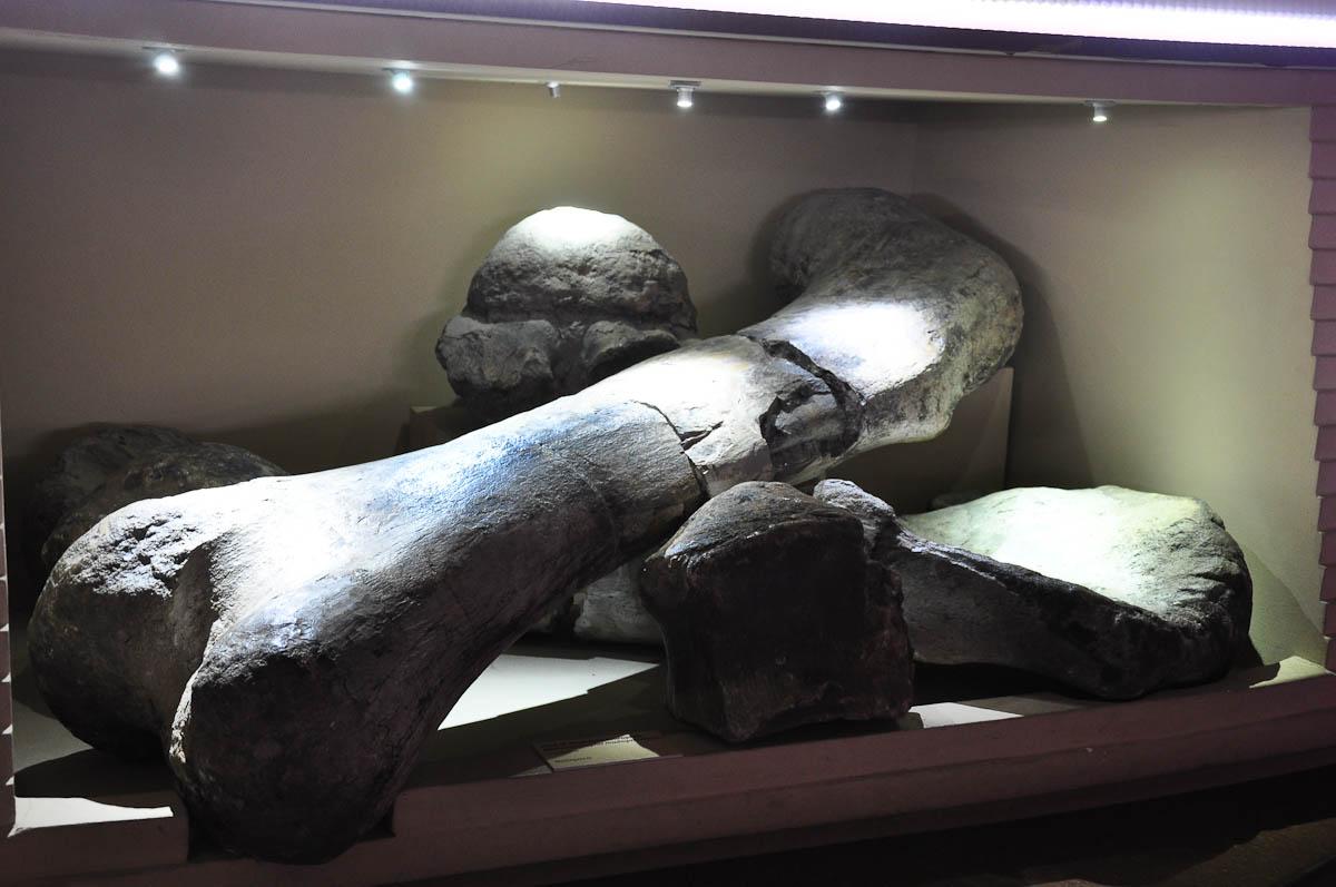 Fossilised dinosaur bones, Natural History Museum, Venice, Italy