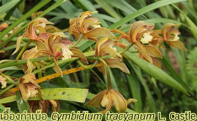 กล้วยไม้ เอื้องกำเบ้อ Cymbidium tracyanum