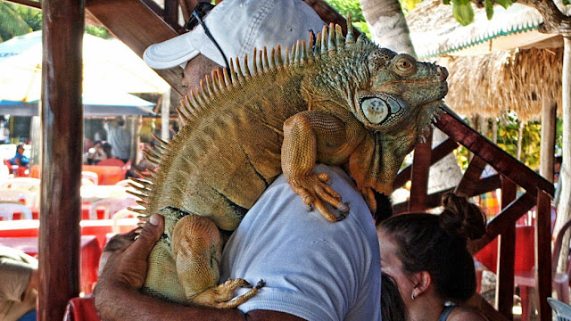 A friendly iguana entertains the crowds at a Huatulco restaurant...