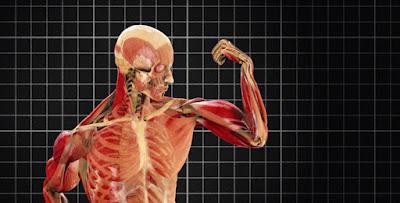 Cantidad músculos nuestro cuerpo