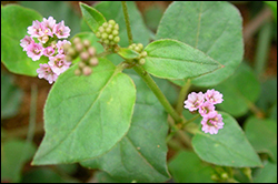 punarnava, herb, best, safe, alternative, lasix