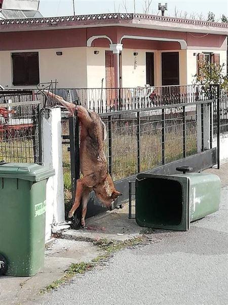 """Λυκος """" καρφωθηκε """" σε καγκελοπορτα σε χωριο της θεσσαλονικης! (φωτο)"""