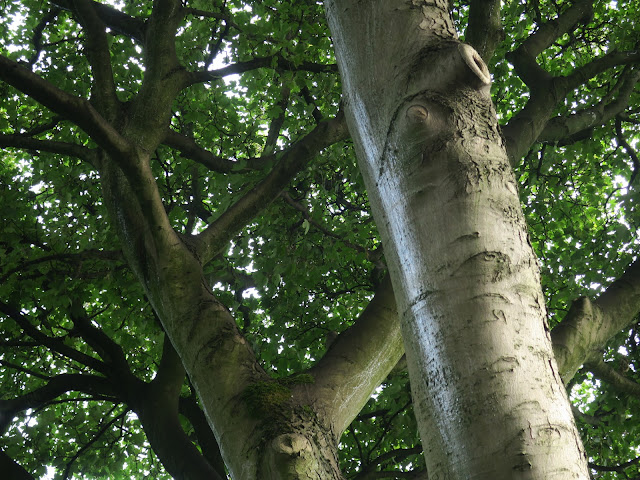 Trunks of the right hand sycamore (?) tree. August 7th 2020.