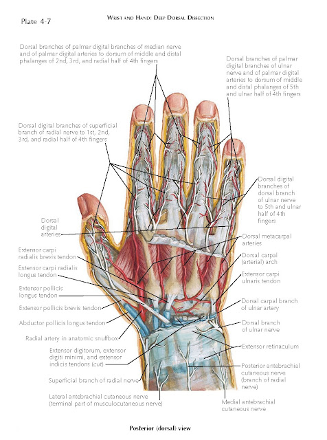 SPACES, BURSAE, AND TENDON SHEATHS OF THE HAND
