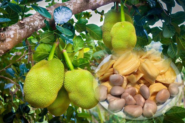 gambar pohon nangka dan biji nangka