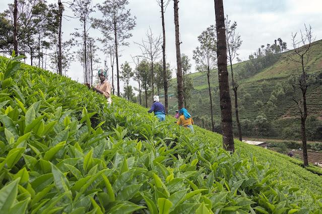 Ooty_tea_garden