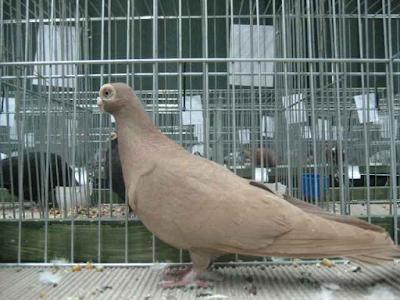 Polish Wattle Pigeon
